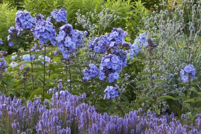 Floks wiechowaty 'Blue Paradise' Phlox paniculata