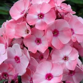 Floks wiechowaty Sweet Summer 'Queen' Phlox paniculata