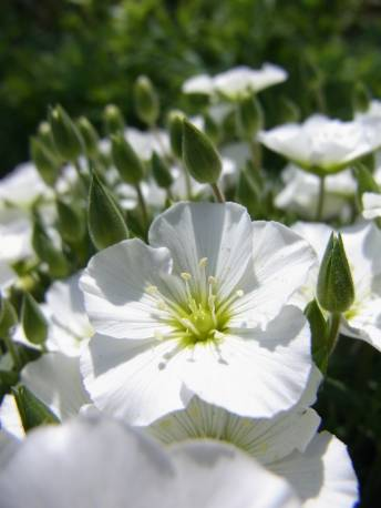 Piaskowiec górski 'Ronda' Arenaria montana