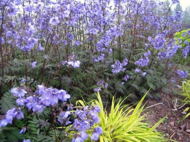 Wielosił jezoński 'Purple Rain Strain' Polemonium yezoense