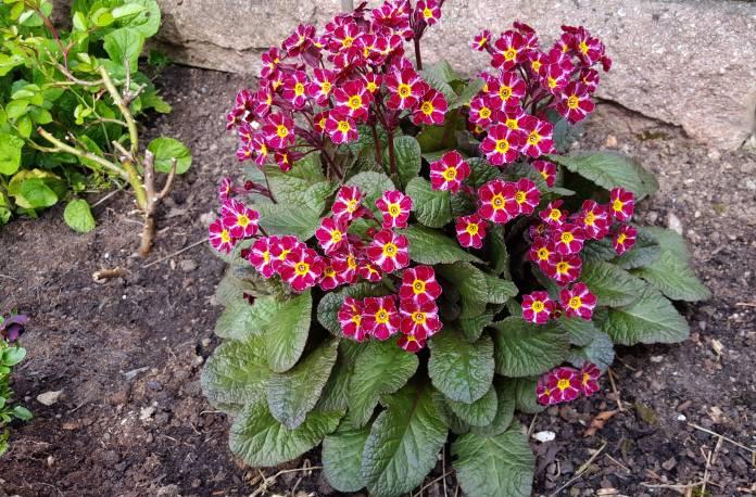 Pierwiosnek 'Dark Rosaleen' Primula