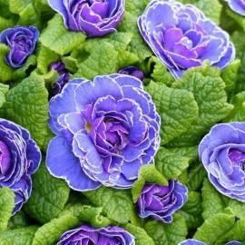 Pierwiosnek bezłodygowy Belarina 'Amethyst Ice' Primula vulgaris