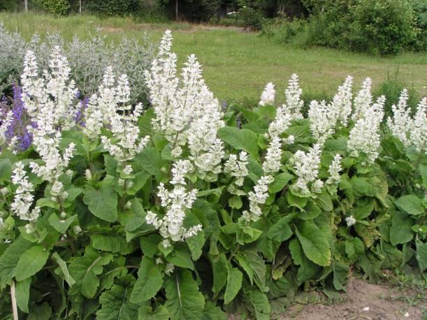 Szałwia muszkatołowa 'Vatican White' Salvia sclarea