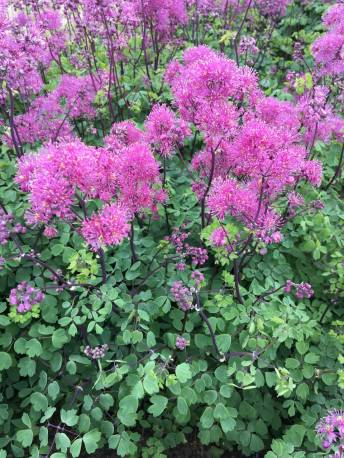 Rutewka 'Little Pinkie' Thalictrum