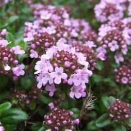 Tymianek kaskadowy wonny Thymus longicaulis ssp. odoratus