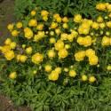 Pełnik europejski 'Lemon Supreme' Trollius europaeus v. compactus
