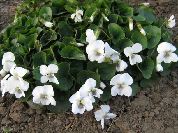 Fiołek motylkowaty 'Albiflora' Viola sororia