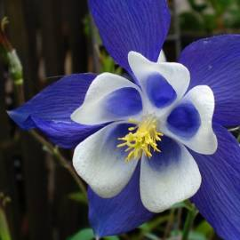Orlik błękitny 'Spring Magic Navy and White' Aquilegia carulea