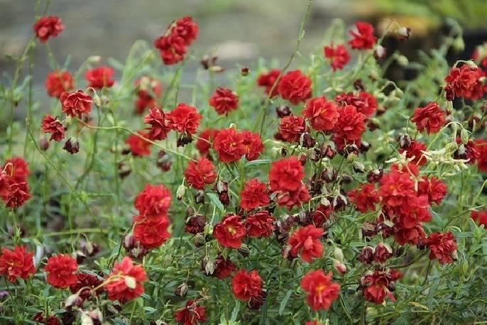 Posłonek 'Amabile Plenum' Helianthemum hybridum