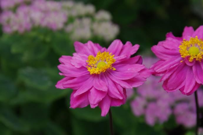 Zawilec mieszańcowy 'Margarete' Anemone x hybrida
