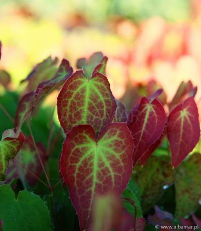 Epimedium czerwone Epimedium rubrum