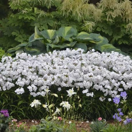Floks wiechowaty 'Minnie Pearl' Phlox paniculata