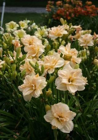 Liliowiec 'Land Of Cotton' Hemerocallis