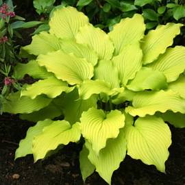 Funkia 'Dancing Queen' Hosta