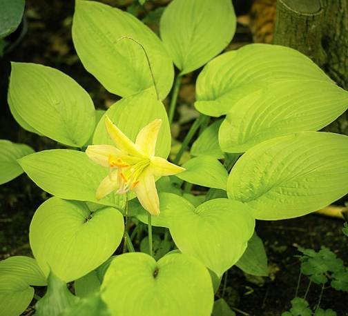 Funkia 'Miracle Lemony' Hosta