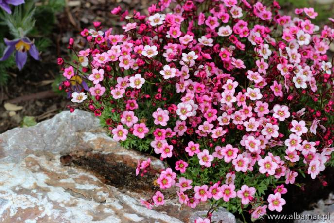 Skalnica arendsa 'Ice Colours Strawberry Creme' Saxifraga arendsii