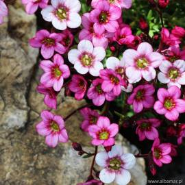 Skalnica Arendsa 'Alpino Early Pink Heart' Saxifraga arendsii