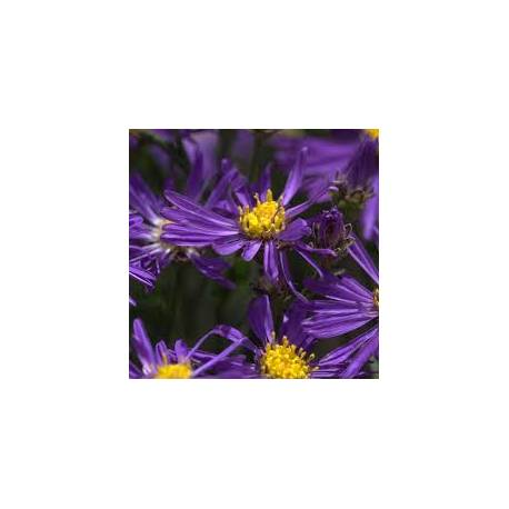 Aster alpejski 'Violet' Aster alpinus