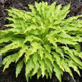 Funkia 'Wiggles And Squiggles' Hosta