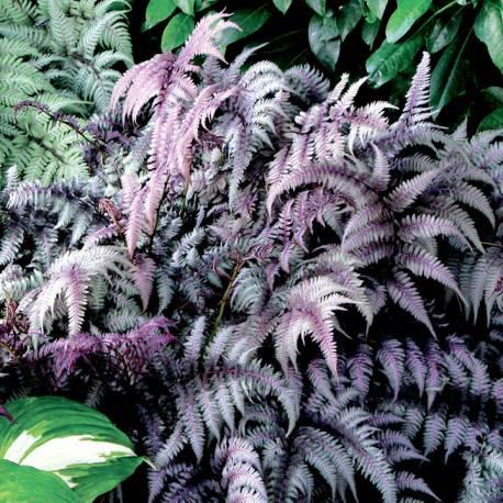 Wietlica japońska 'Pewter Lace' Athyrium nipponicum var. pictum