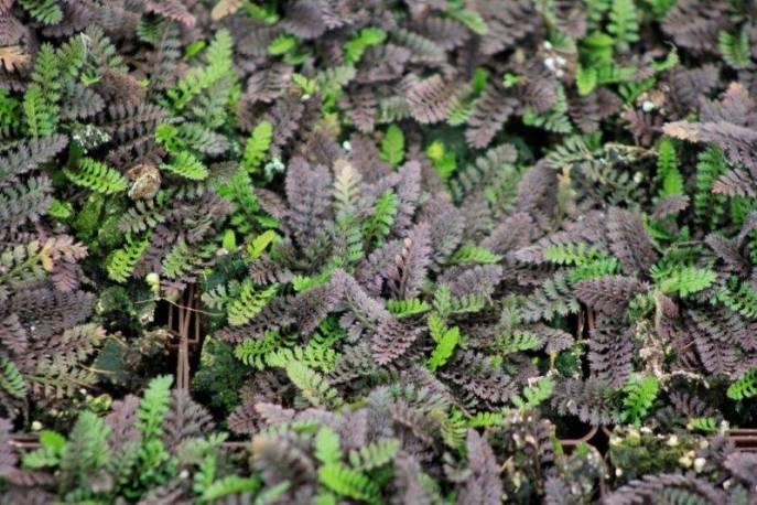 Leptinella nowozelandzka 'Platt's Black' Leptinella squalida