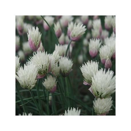 Czosnek szczypiorek 'Elbe' Allium schoenoprasum