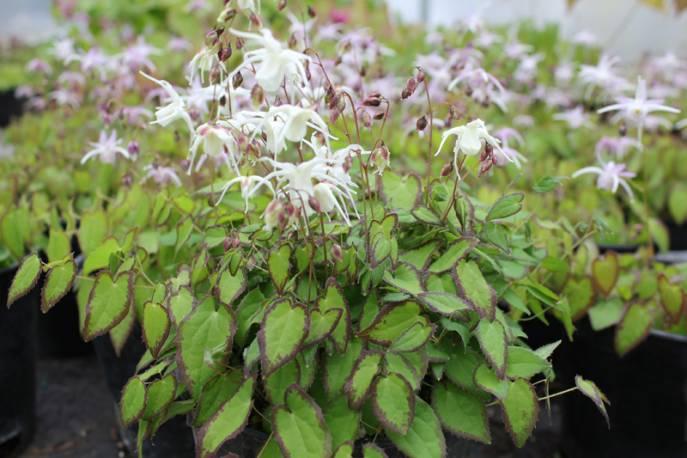Epimedium wielkokwiatowe 'Higoense' Epimedium grandiflorum var. higoense