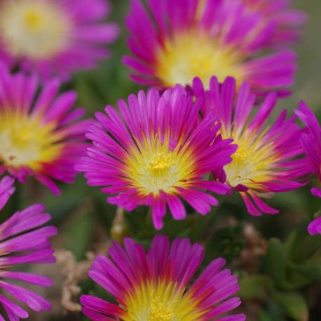 Słonecznica Wheels of Wonder 'Hot Pink Wonder' Delosperma