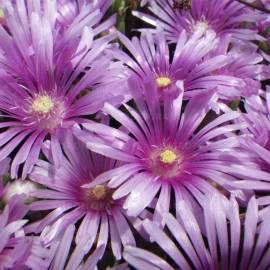 Słonecznica Sundella 'Lavender' Delosperma