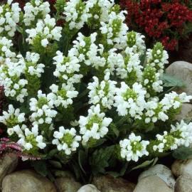 Głowienka wielkokwiatowa 'Alba' Prunella grandiflora