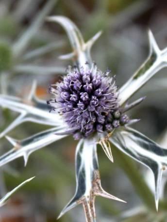 Mikołajek różnobarwny 'Miss Marble' Eryngium variifolium