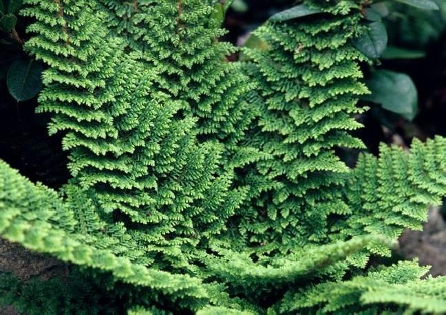 Paprotnik szczecinkozębny 'Plumoso-Densum' Polystichum setiferum