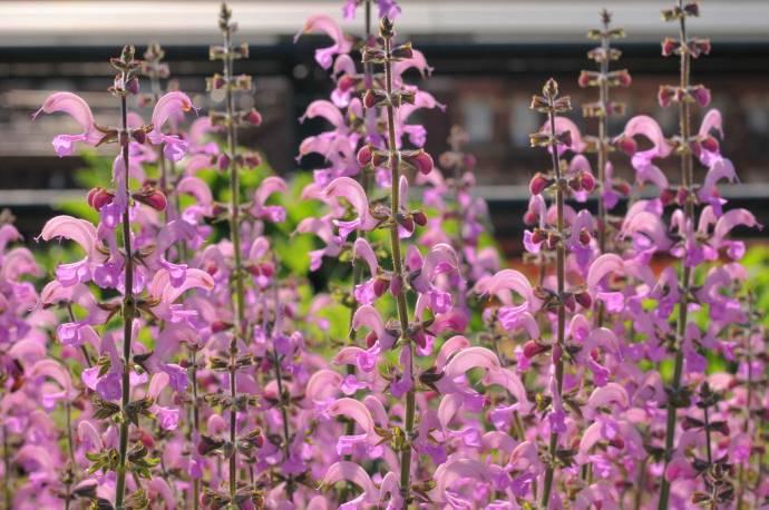 Szałwia łąkowa 'Rose Rhapsody' Salvia pratensis