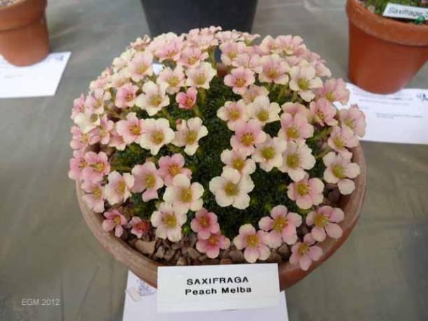 Skalnica 'Peach Blossom' Saxifraga
