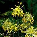Czosnek złocisty Allium flavum