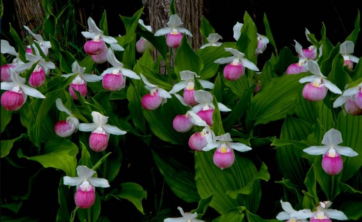 Obuwik królewski 'Alba' Cypripedium reginae