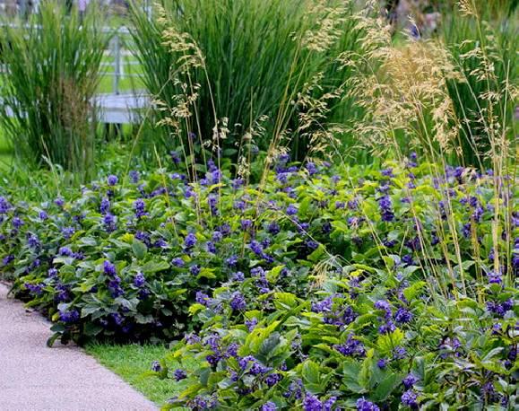 Powojnik rurkowaty 'New Love' Clematis heracleifolia