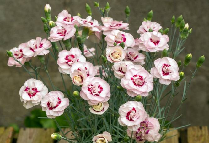 Goździk postrzępiony 'Angel of Virtue' Dianthus plumarius
