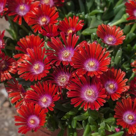Słonecznica Sundella 'Red' Delosperma