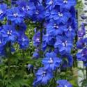 Ostróżka 'Guardian Blue' Delphinium