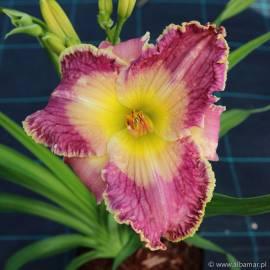 Liliowiec 'Azure Violets' Hemerocallis