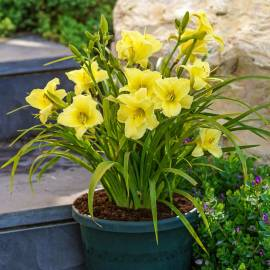 Liliowiec 'Fragrant Returns' Hemerocallis