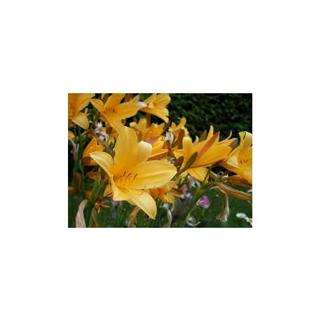 Liliowiec 'Golden Chimes' Hemerocallis