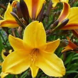 Liliowiec 'Golden Chimes' Hemerocallis