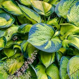 Funkia 'Bright Lights' Hosta