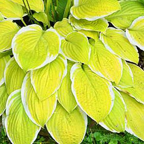 Funkia 'American Dream' Hosta