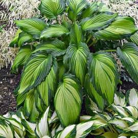 Funkia 'Angel Falls' Hosta