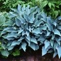 Funkia 'Blue Cadet' Hosta