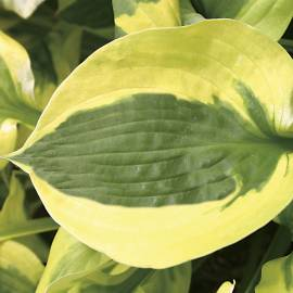 Funkia 'Summer Lovin' Hosta