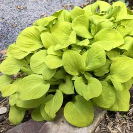 Funkia 'Sun Mouse' Hosta